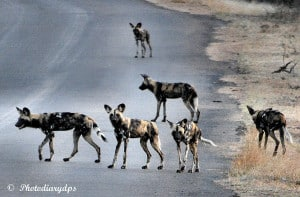 Endangered Painted Dogs Ready to Hunt.