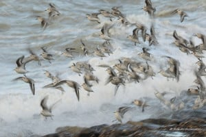 Sanderlings in a Storm