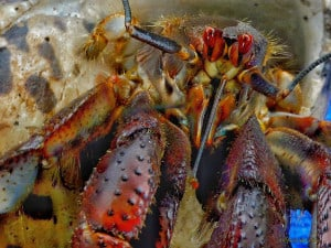 Land Hermit-crab (Coenobita)