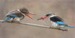 Brown-hooded Kingfishers