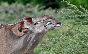 Kudu Love !