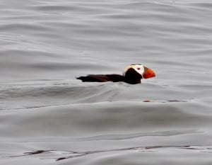 After the Storm (Tufted Puffin)