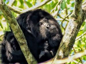 Thoughtful Howler Monkey
