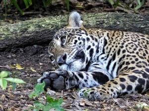 Oh, Such Memories! - Yucatan Jaguar