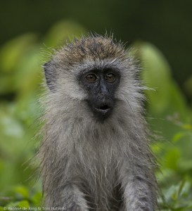 Young Vervet Monkey Discovering the Rains