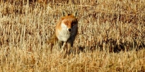 A Very Curious Fox