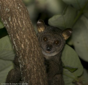Small-eared Greater Galago
