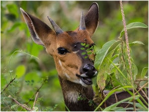 Immature Male Bushbuck