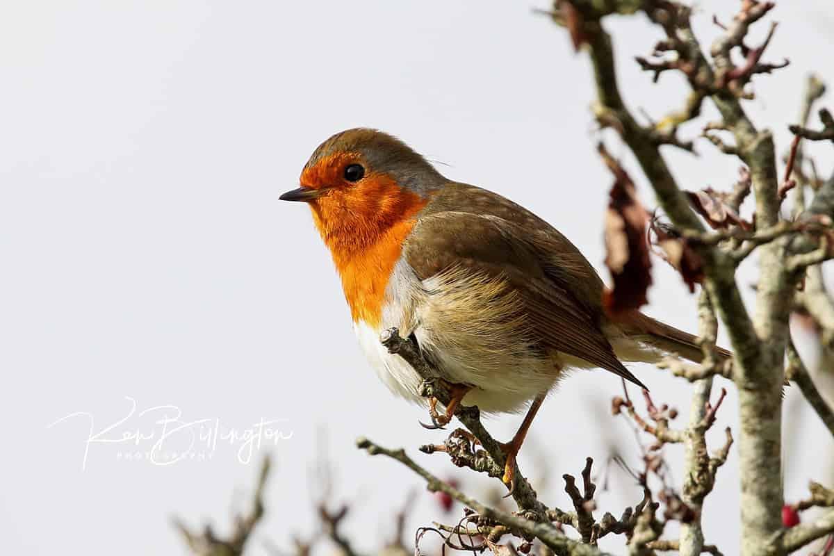 Robin Readbreast