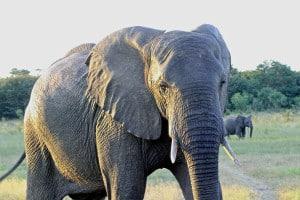 Presidential Elephant