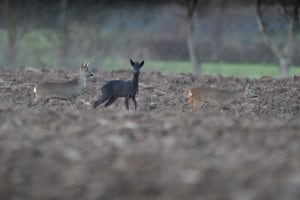 Black Roe Deer