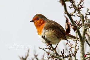 Robin Readbreast