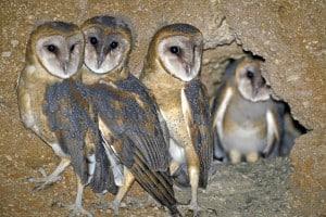 Barn Owls - Ready to Fledge