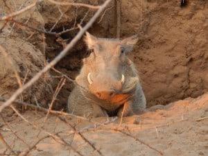 Warthog on Guard