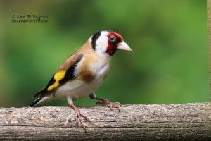 Got My Eye on You - Goldfinch