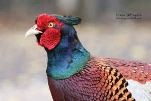 Male Pheasant in Summer Plumage