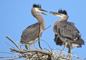 Young Great Blue Herons