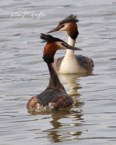 Mating Rituals - Great Crested Grebes