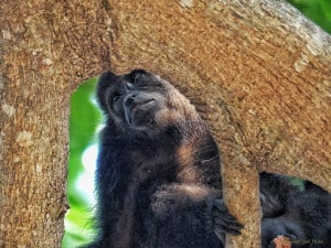 Sad Memories - Howler Monkey
