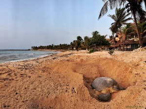 Giant Sea Turtle Mama Preparing to Nest
