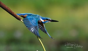 Kingfisher at Takeoff