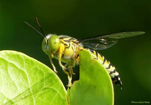 Sand Wasp, Resting.