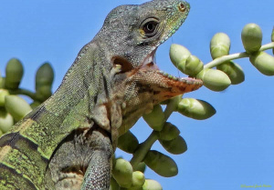 Spiny-tailed Iguana. Hhuunnggrryy!!
