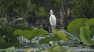Egret Fishing in Lotus Pond