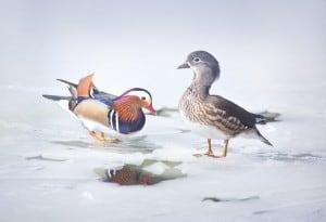 Mandarins on Ice