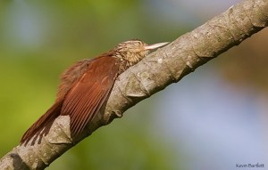 Bliss. Straight-billed Woodcreeper