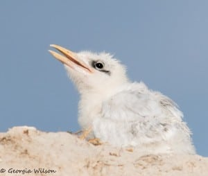 Royal Tern Chick