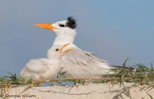 Royal Tern Family