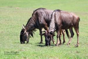 Feasting Wildebeest