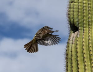 Feeding Brown-crested Flycatchers
