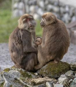 Tibetan Macaque