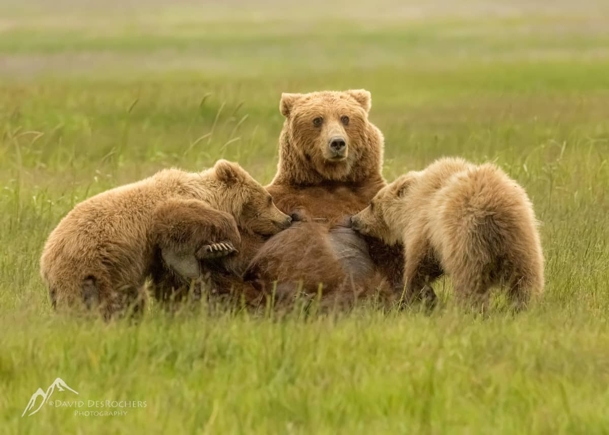 Coastal Brown Bear Sow Nursing Her Cubs by David DesRochers