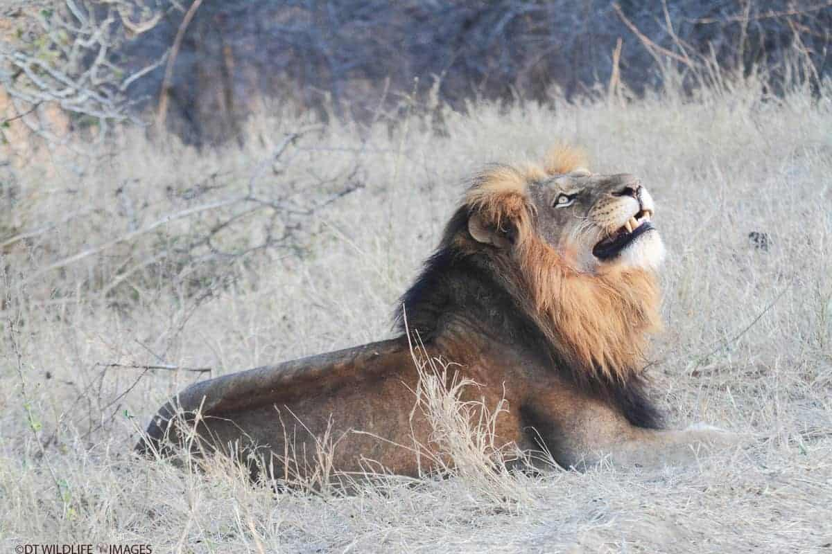 Male Lion Gazes to the Sky by David Taylor