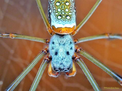 Nature's Art - Orb-weaver Spider