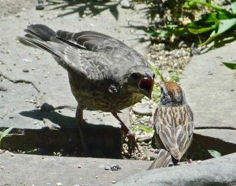 Chipping Sparrow Feeding Cowbird