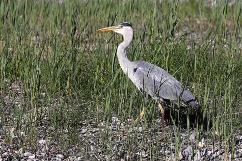 Fishing in the Reeds - Grey Heron
