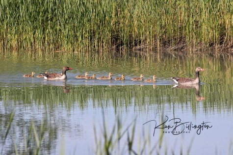 Happy Family - Greylag Geese