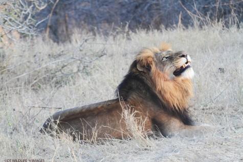 Male Lion Gazes to the Sky