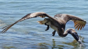 Hungry Pelican - Got One!