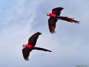 Yucatan Parrots - Flying Together