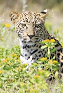 Leopard in the Flowers