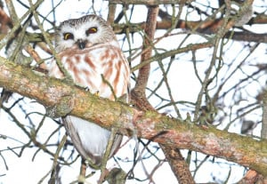 Northern Saw Wet Owl