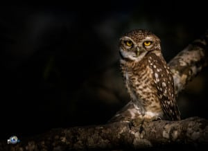 Night Watchman-spotted Owlet