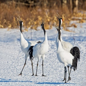 Red-crowned Cranes Displaying