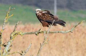 Marsh Harrier Calling Her Mate.