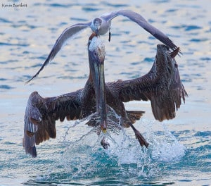 Brown Pelican Harassed by Laughing Gull